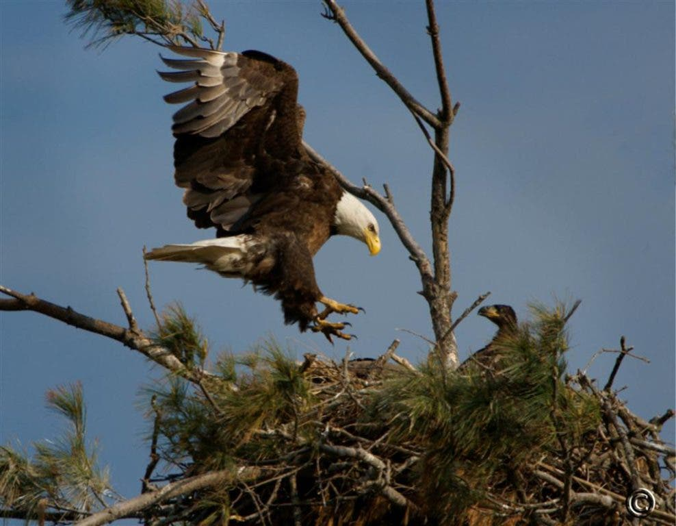 Mooseheart S Two Eaglets Get A New Home Following Weekend Storms
