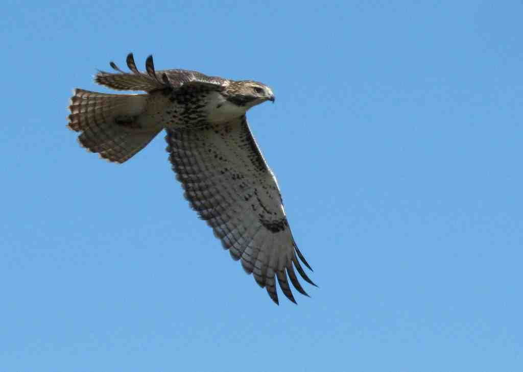 Birds Of Prey Red Tailed Hawks Kings Park Ny Patch