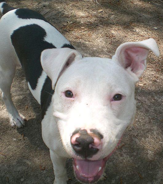 Dog That Bit 4 Were Pit Bull Mixes | Benicia, CA Patch