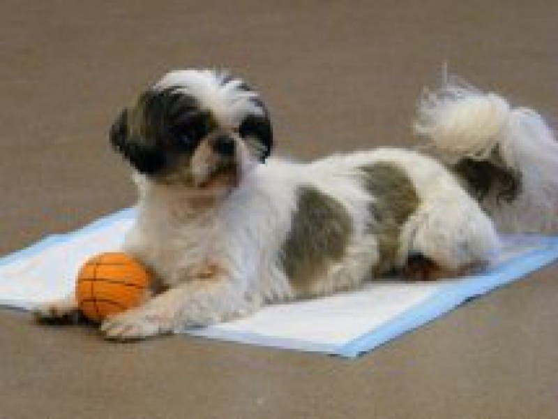 Pine Valley Shih Tzu Rescue Fundraiser Hatboro Pa Patch