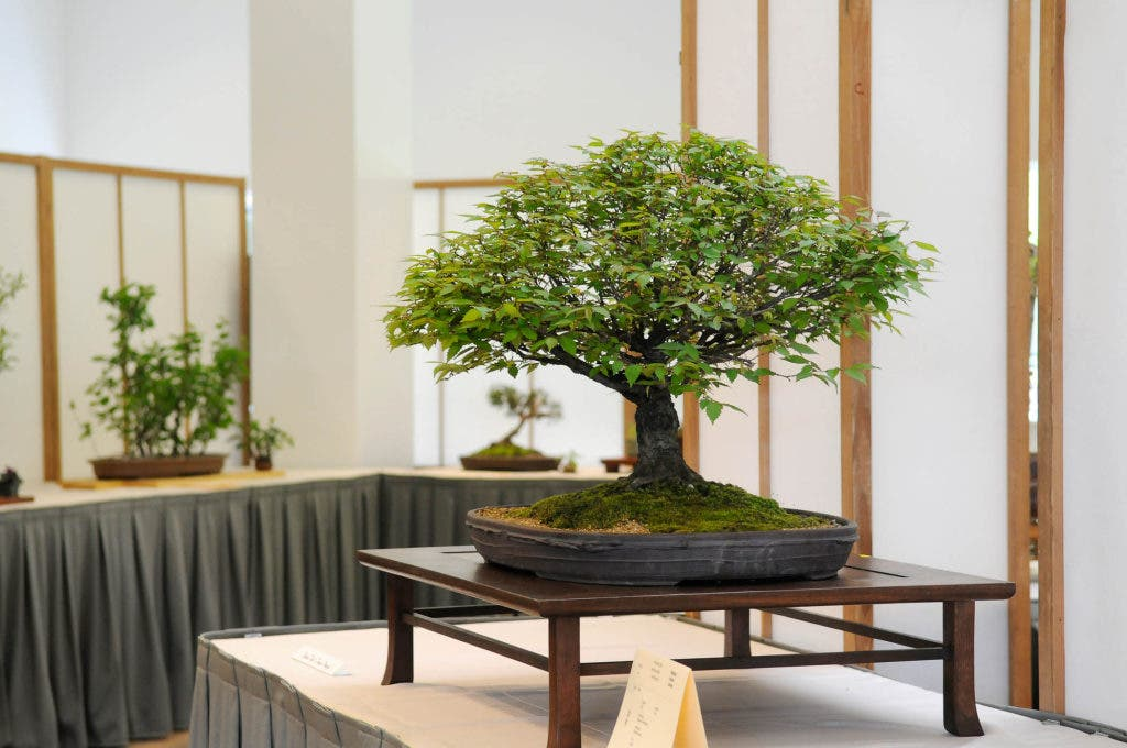 Learn Tips For Tending Tiny Trees At Chicago Botanic Garden Winnetka Il Patch