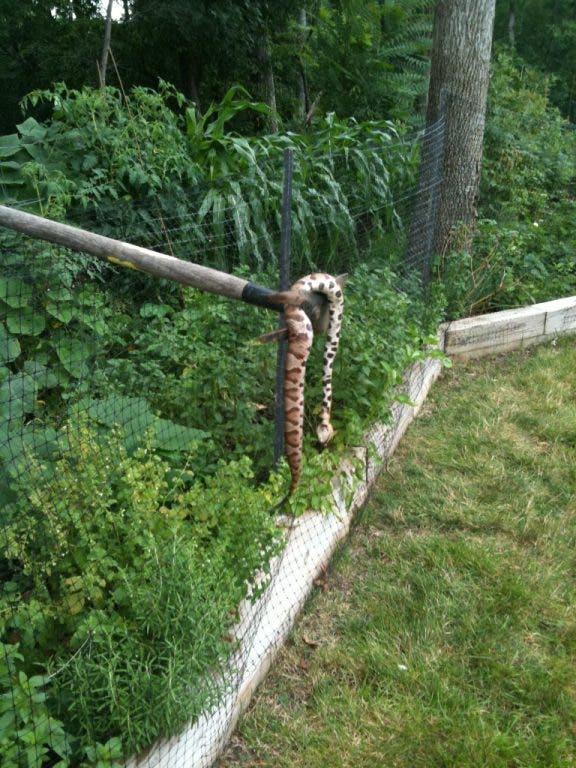 Loudoun's Snakes Should Raise Caution, Not Fear   Ashburn