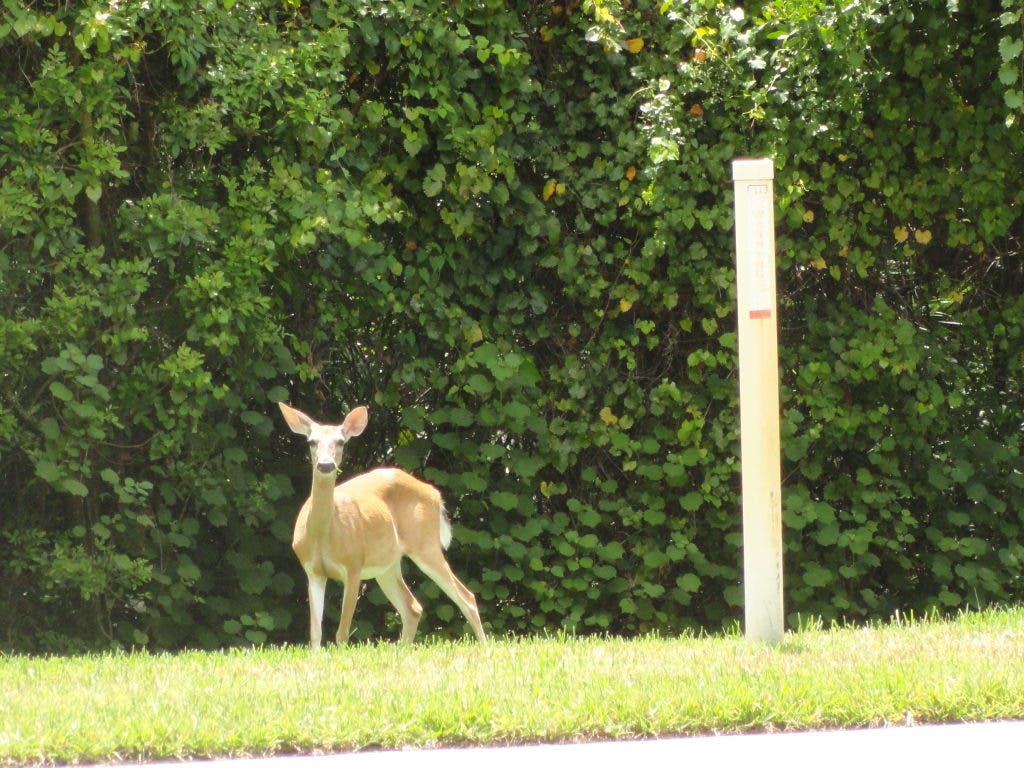 Deer Eating Your Landscaping Heres Advice To Stop Them East Lake