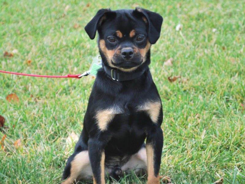 Help Tank A Miniature Rottweiler Find A Home Dedham Ma Patch