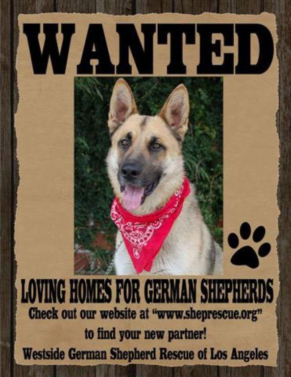 Foster Homes Needed For German Shepherd Rescue Redondo Beach Ca Patch