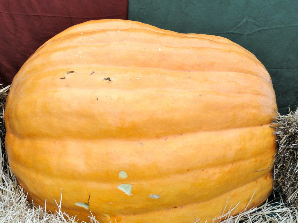Pumpkin Patch Returns To Oak Lawn