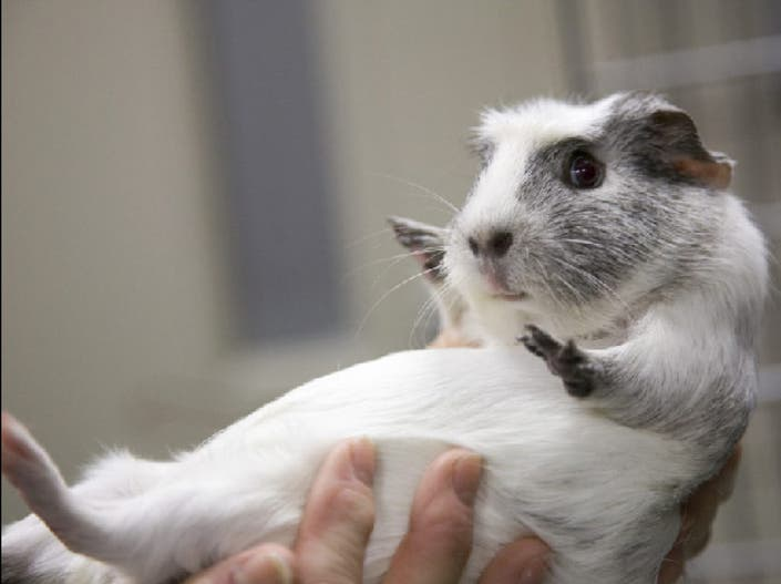 Pet of the Week: Mabel the Guinea Pig Needs a Home ...