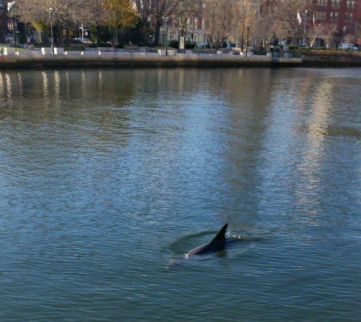Dolphins Swim In Providence River