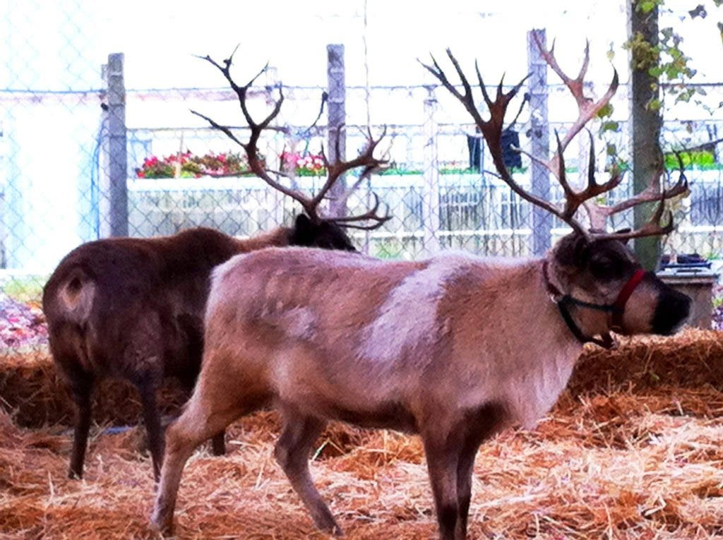Visit With A Reindeer At Watson S Greenhouse And Nursery