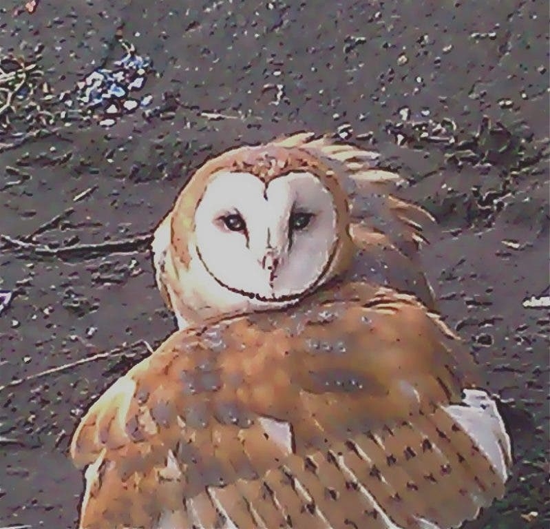 Barn Owl Found Injured on Puyallup River Released Into the Wild