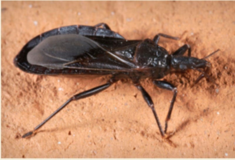 6 Facts About Deadly Kissing Bug Found in Virginia