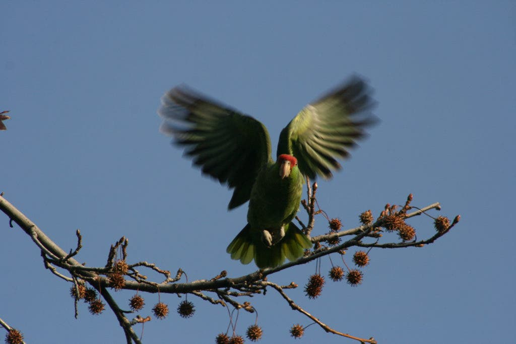Are Wild Parrots Roosting in Your Backyard? | South Pasadena