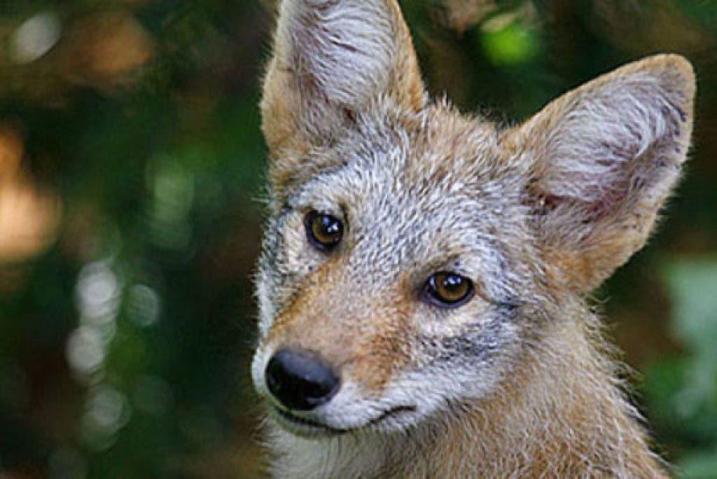 Arlington Heights Citizen Alert: Coyote Mating Season Coming
