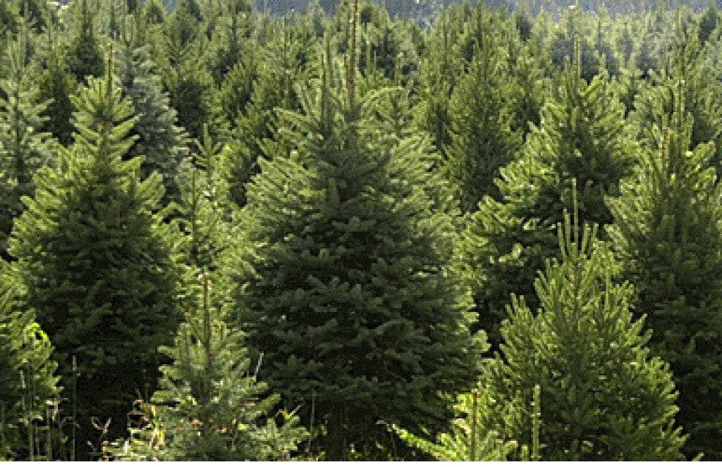 Where to Go to Chop Down Your Own Christmas Tree | West ...