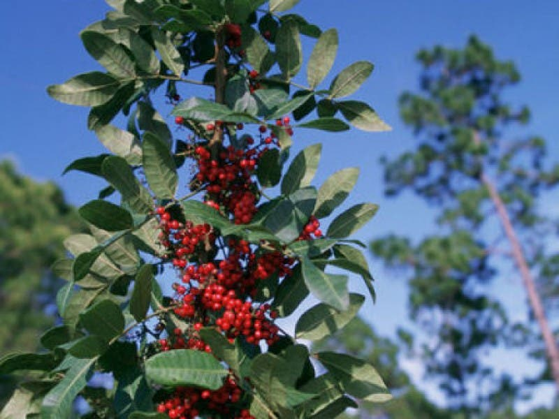 The Brazilian Pepper Tree Beautiful But Deadly To Native Habitats