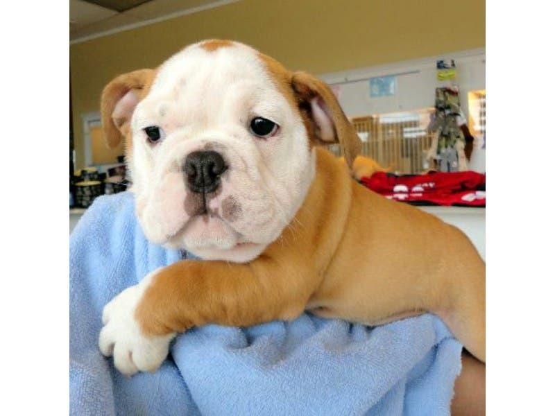 English Bulldog Puppy Nabbed From Norwalk Pet Store Norwalk Ct Patch