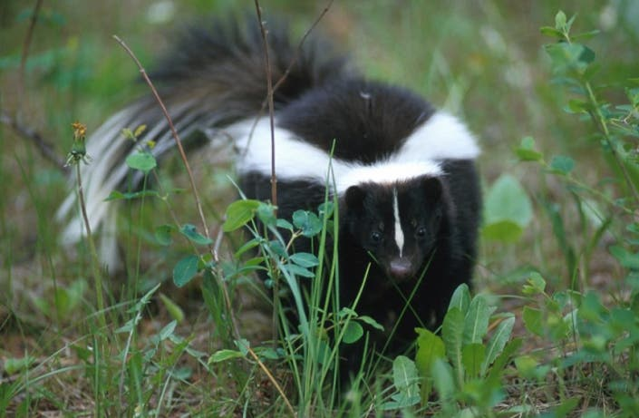 Skunks: How to Get the Smell Out | Joliet, IL Patch