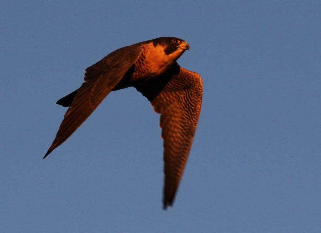 The Peregrine Falcon The Fastest Animal On The Planet Imperial Beach Ca Patch