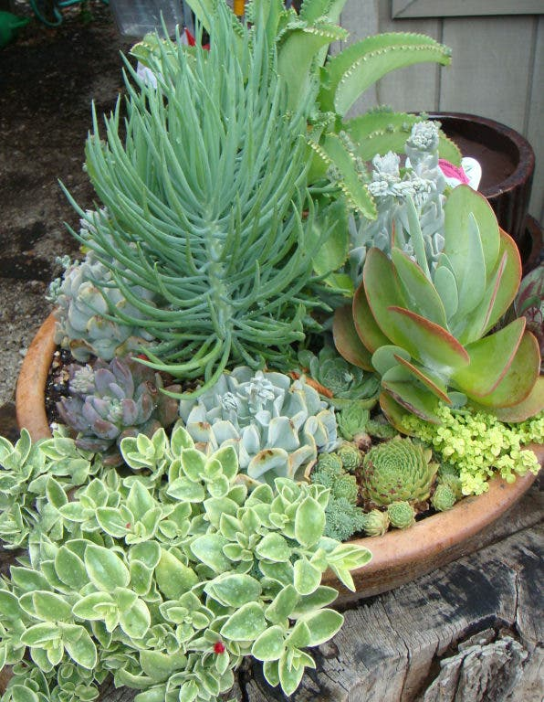 Succulents For Easy Care Gardening