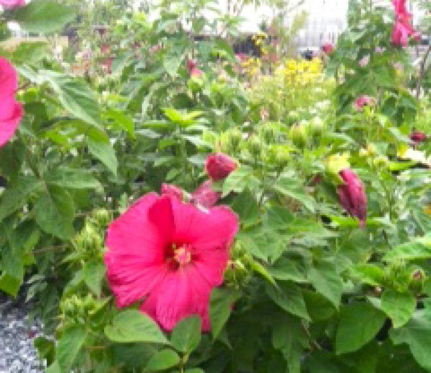 Flower Of The Week Perennial Hibiscus Edgewater Md Patch
