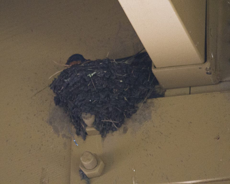 Resident Accuses City of Destroying Active Barn Swallow ...