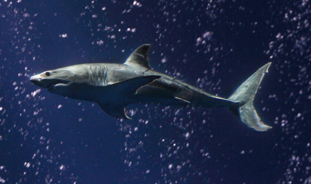 Young Great White Shark Arrives at Aquarium | Dixon, CA Patch