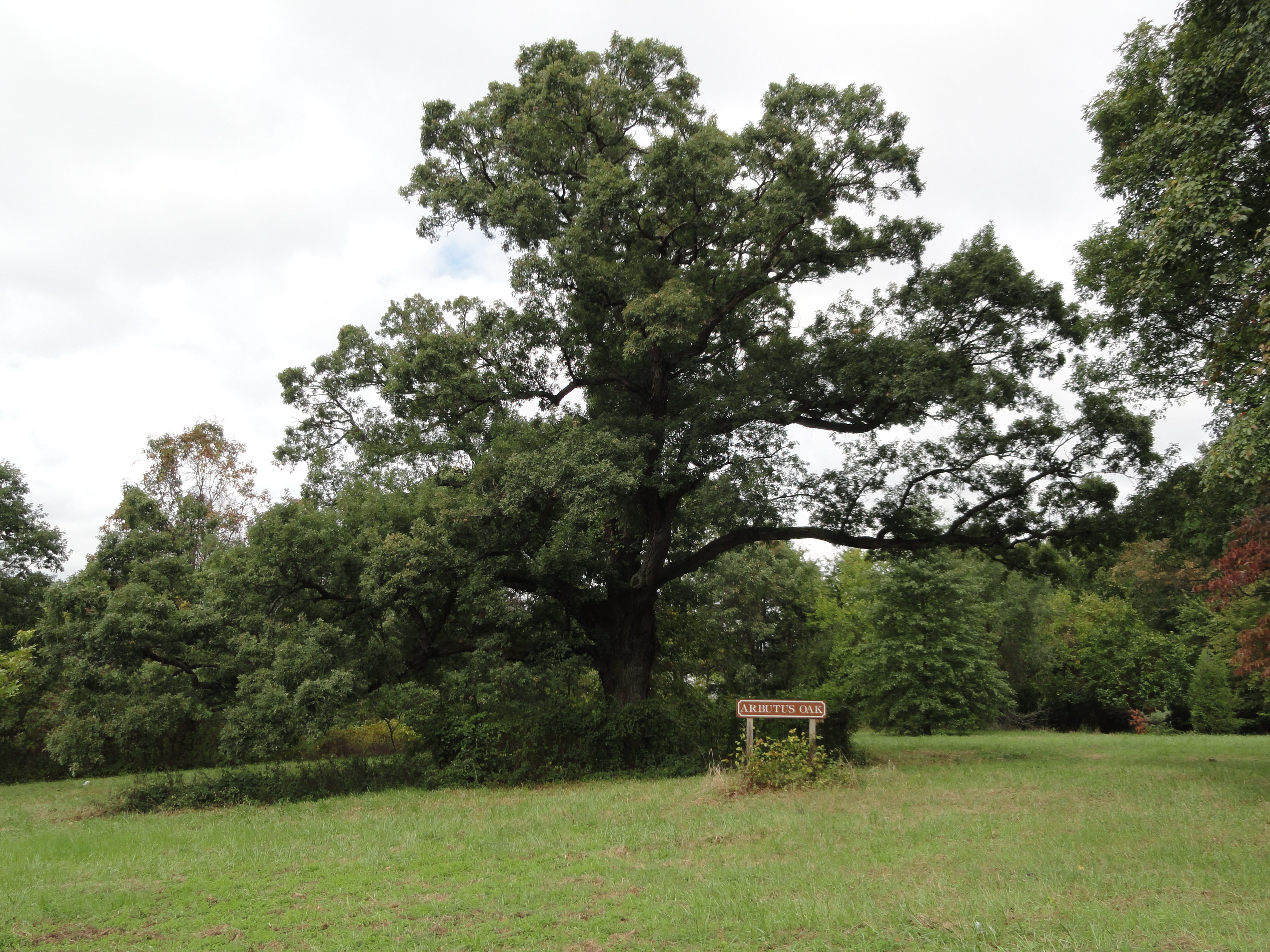 Historic Arbutus Oak Is Hidden In Plain Sight 3