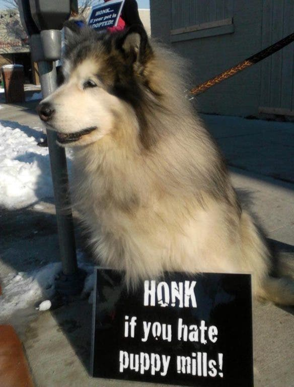 Pet Protests Continue in Downtown Ames   Ames, IA Patch