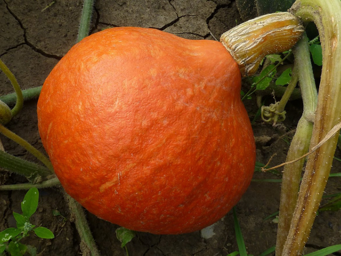 Pumpkin Guide Varieties For Eating Carving And Painting Bellevue