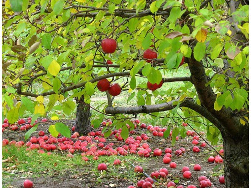 Backyard Orchards with Tom Spellman from Dave Wilson Nursery - Backyard Orchards With Tom Spellman From Dave Wilson Nursery San