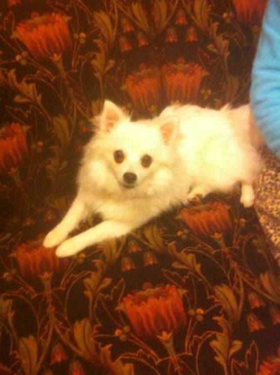 Found on Craigslist: American Eskimo Puppy, 24-Inch Rims ...