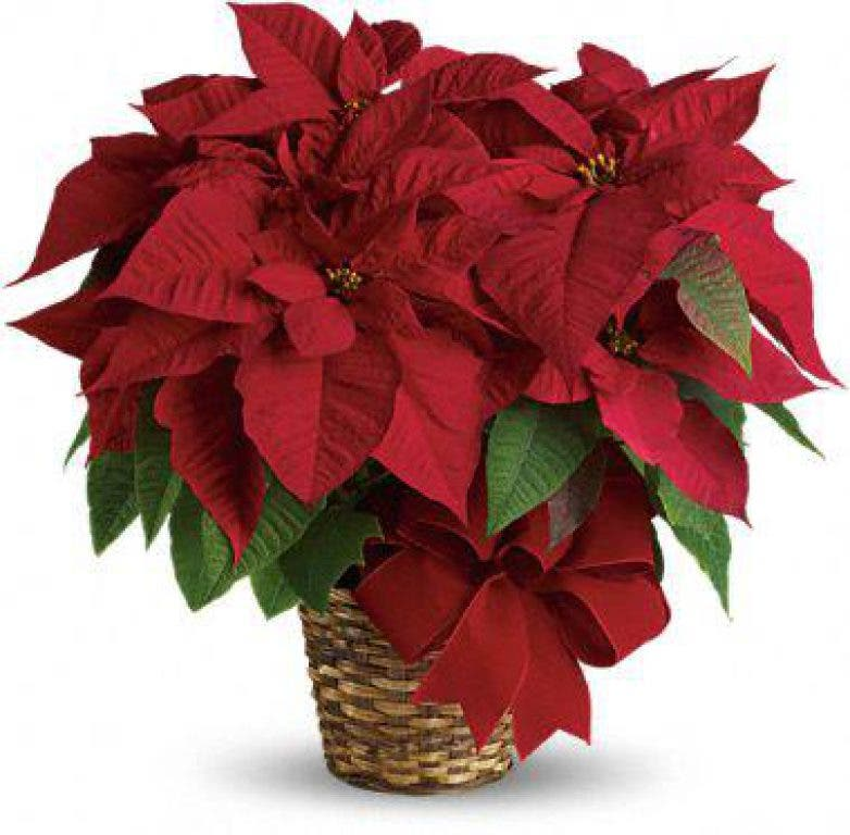 Make Poinsettias Part Of Your Holiday Celebrations Tinley Park