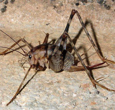 Stop Camel Crickets From Invading Your Home Garden City Ny Patch