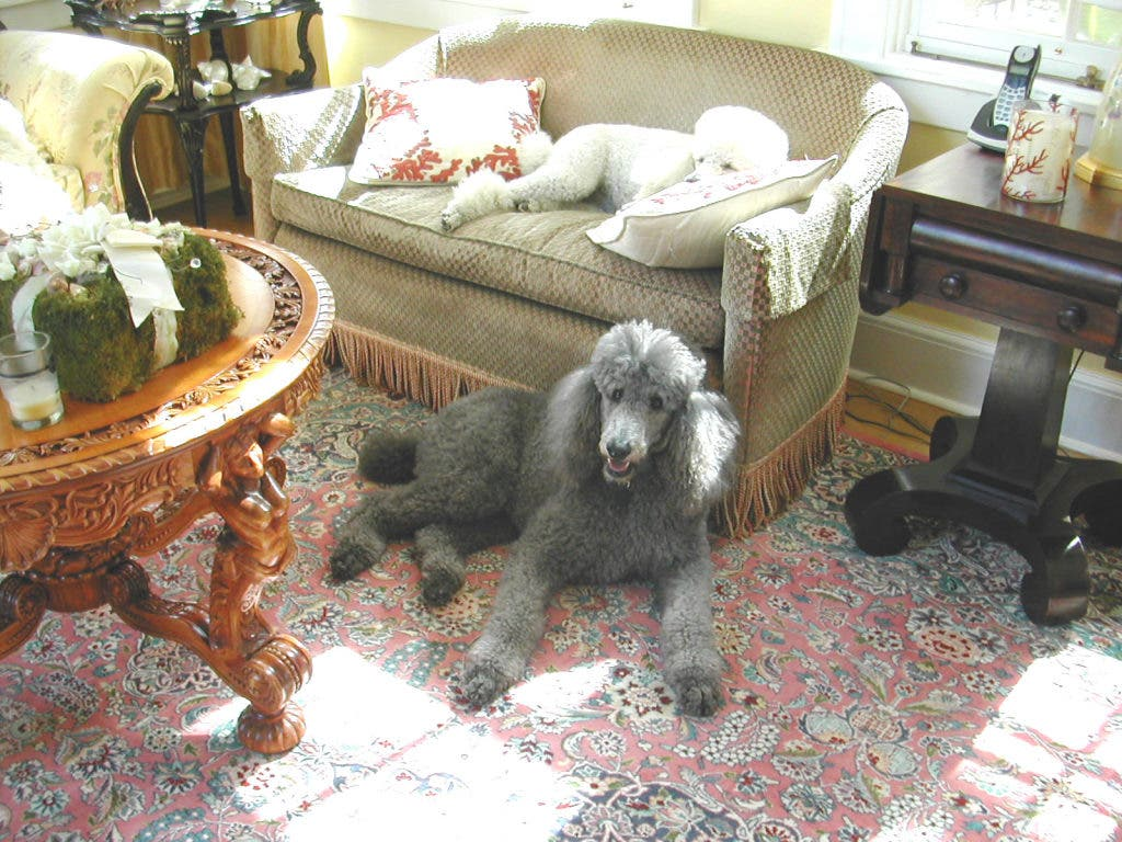 Finding Loving Homes For Abandoned Poodles Has Become Old Northeast