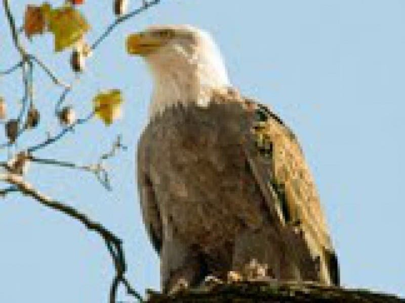 A Bald Eagle With White Head And Dark Brown Feathers Perched On Dead Tree