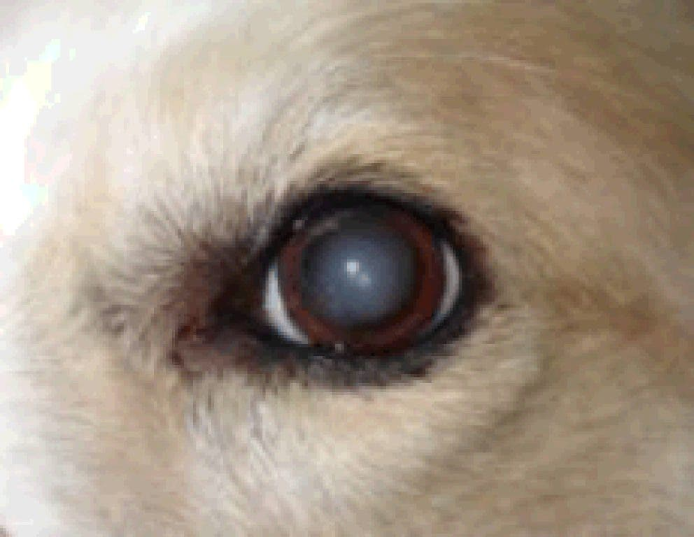 Cataracts In Our Canine Companions