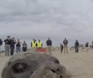 Watch Harbor Seal Pup Penelope Photobombs Camera Before