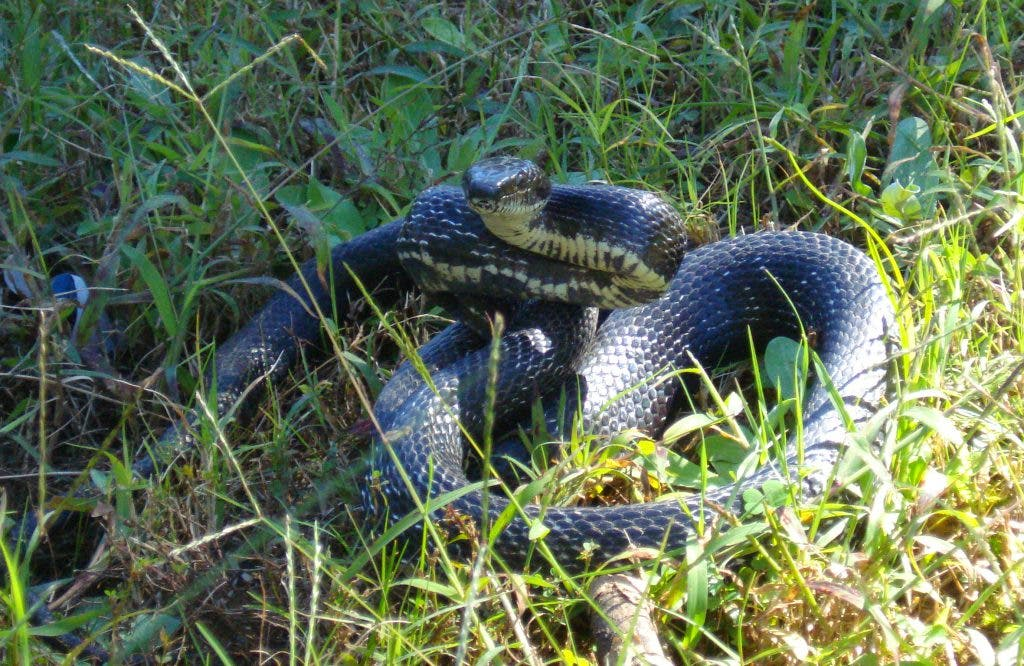 Snakes in Georgia: Yes, Mr  No Shoulders is Back! | Cumming, GA Patch