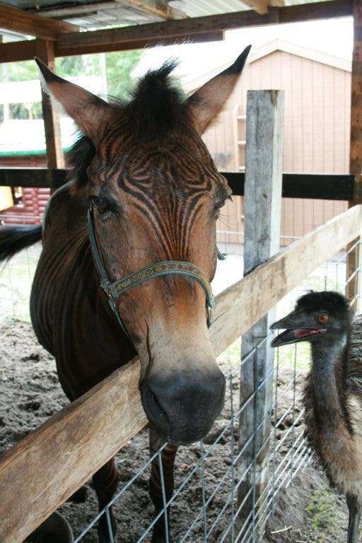 Zorse For Sale >> Meet Dan The Zorse Westchase Pet Of The Week Westchase