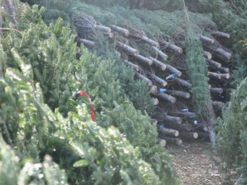 Christmas Tree Farms In Cobb County