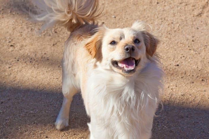 Adoptable Pet Meet Pepe The Spaniel Montrose Ca Patch