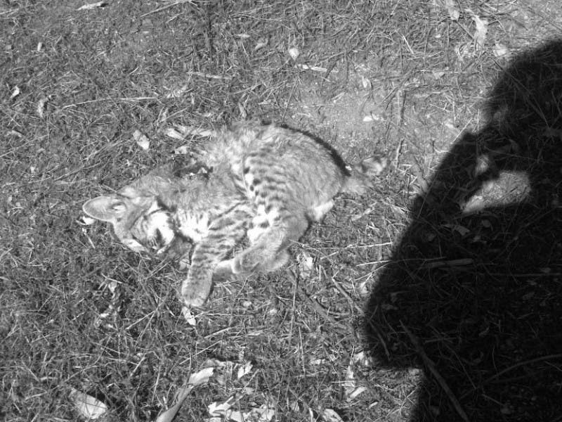 Woman Finds Dead Baby Bobcat In Her Back Yard Altadena Ca Patch