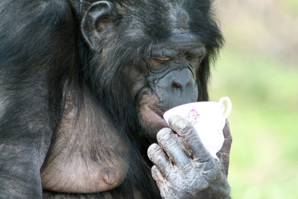 What Made Chimp Attack Researcher in Africa? West Des Moines