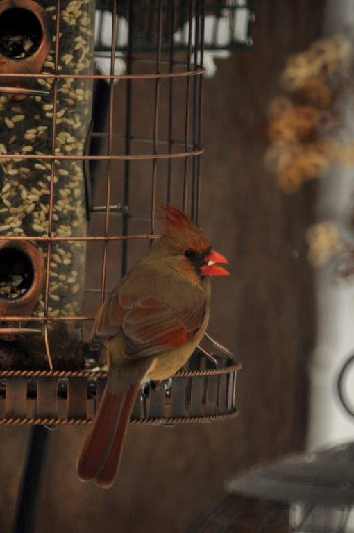 Taking Part in The Great Backyard Bird Count   Eldersburg ...