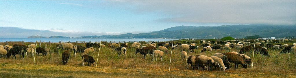 Sheep and Goat Herd Graze Their Way to a Healthier Open Space   Half