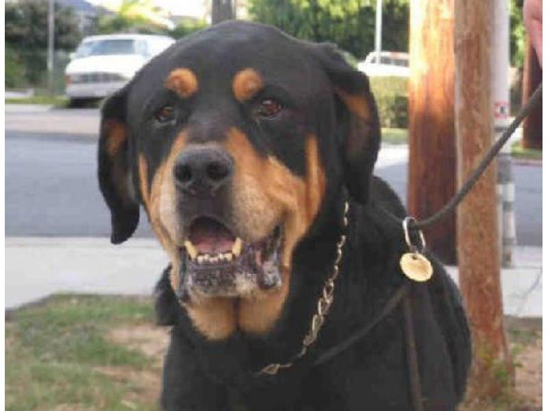 Rescue Dog Of The Week Tucker The Rottweiler Beverly Hills Ca Patch