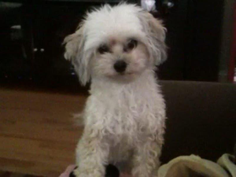 Missing Malteseyorkie Dog Shelton Ct Patch