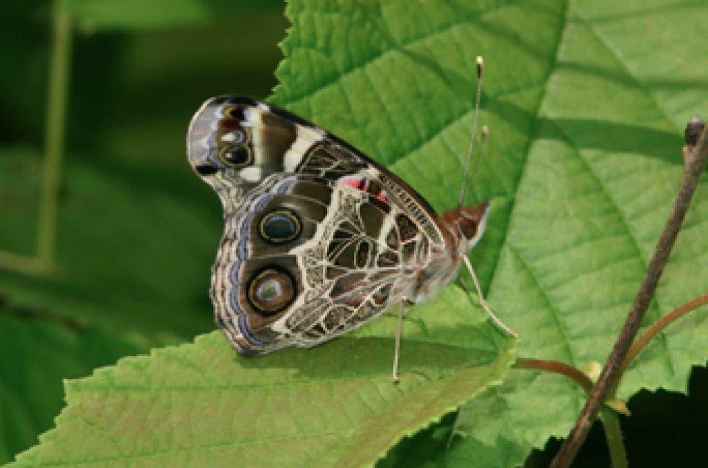 A Guide to Georgia Butterflies | Lilburn, GA Patch