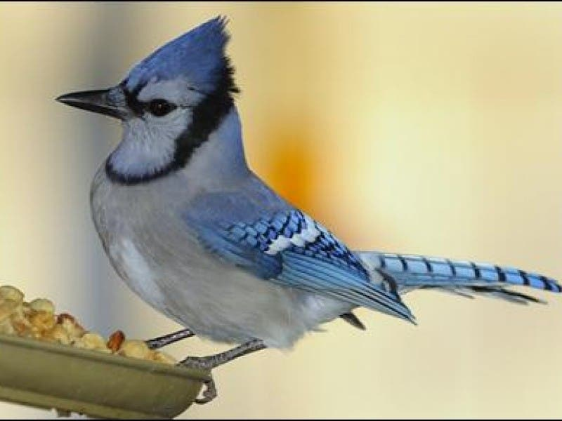 How To Feed Backyard Birds