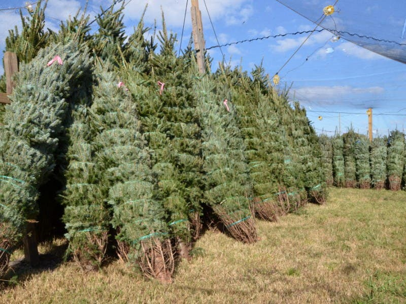 Christmas Trees For Sale In Tarpon Springs